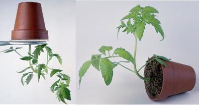 Gravitasjon og planters vekst